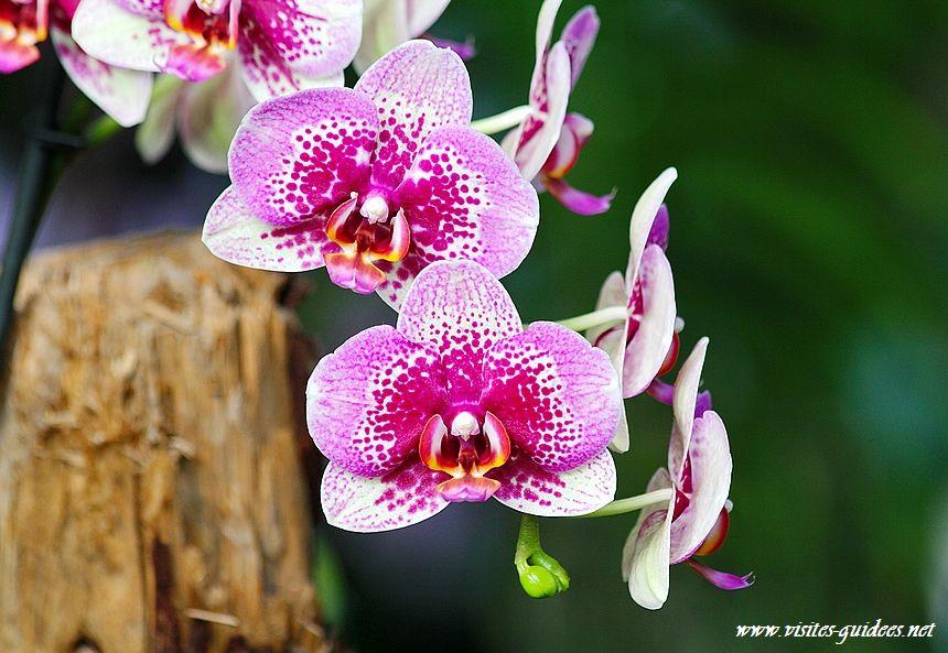 Mille et ne orchidées