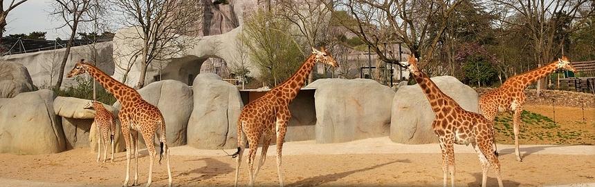 girafes biozone sahel soudan parc zoologique de Paris