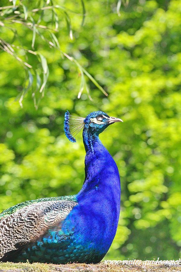 paon bleu parc floral paris