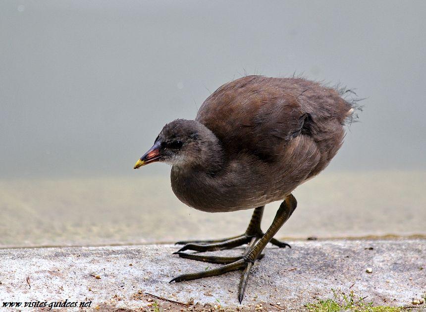 Gallinule poule d'eau juvénile