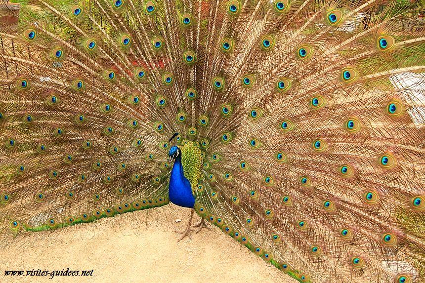 paon bleu parc Floral de Paris
