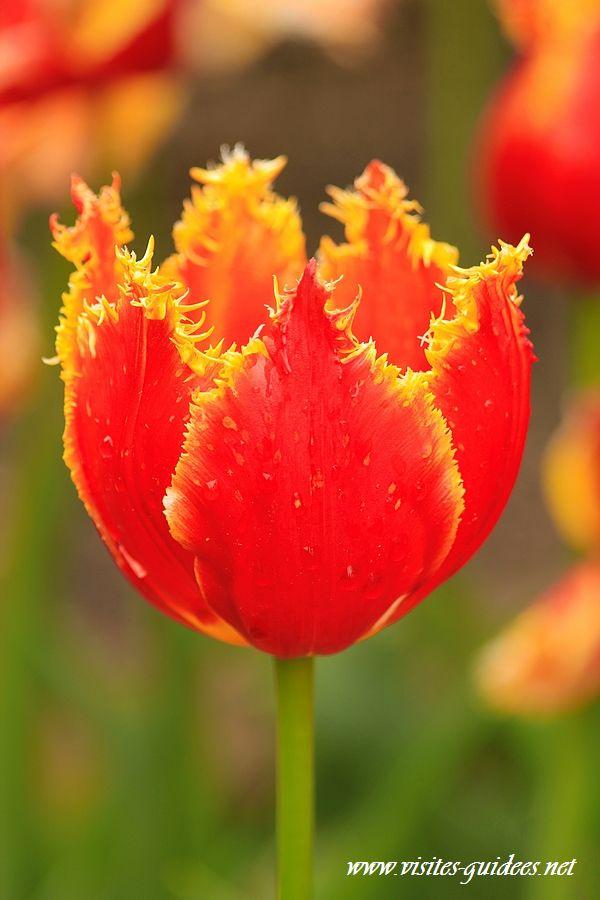 Tulipes Parc floral de Paris frangée dentelle davenport bis