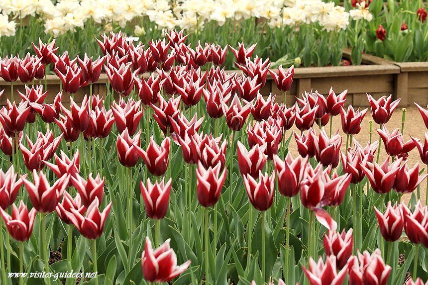 Tulipes Parc floral de Paris rajka