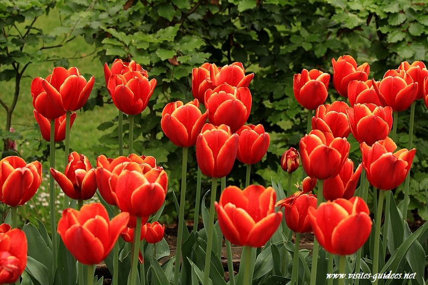 Tulipes Parc floral de Paris laura fygi