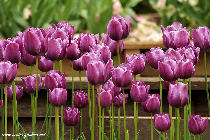 Tulipes Parc floral de Paris cum laude