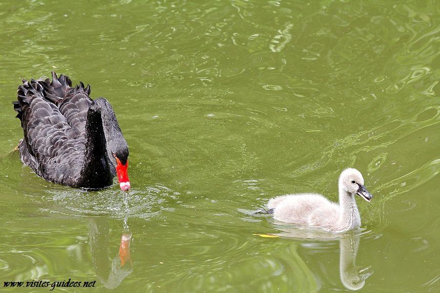Cygnes noirs Parc Montsouris