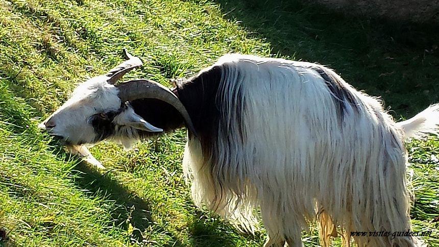 Chèvre des Fossés Tuileries