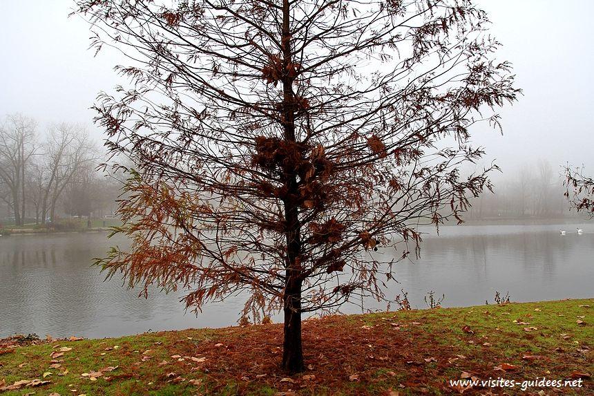 Cyprès chauve Lac Daumesnil