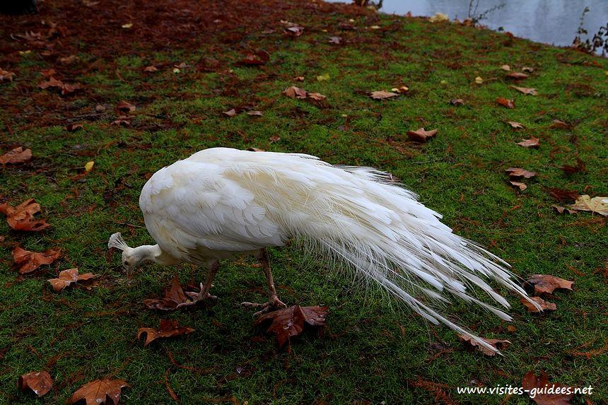 Paon blanc Lac Daumesnil