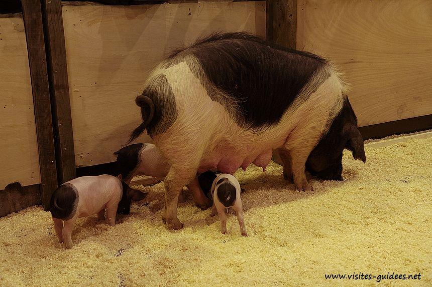 Cul Noir Limousin Salon de l'Agriculture 2015