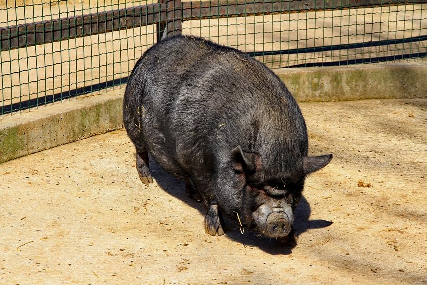 cochon parisien