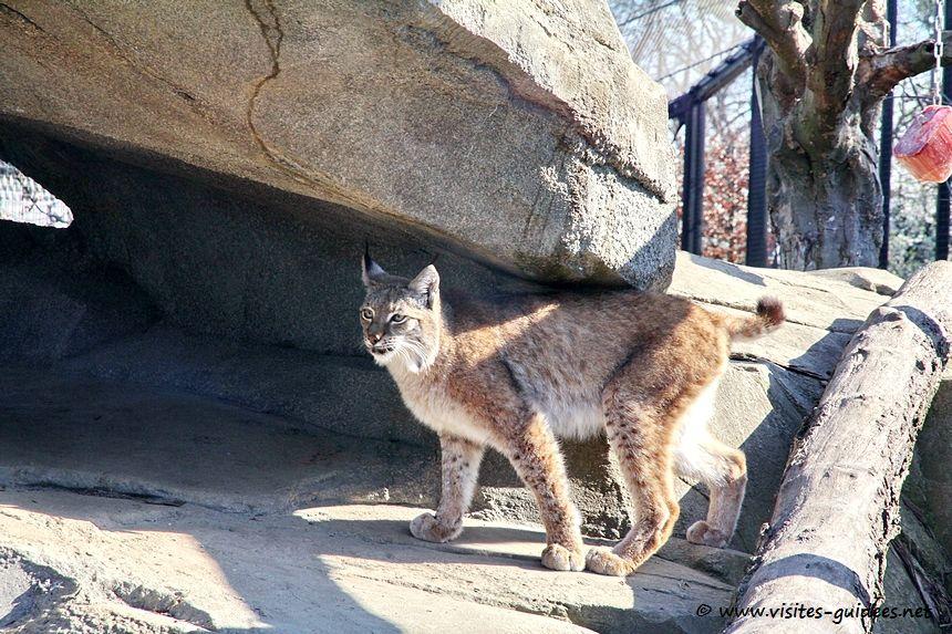 Parc zoologique de Paris lynx