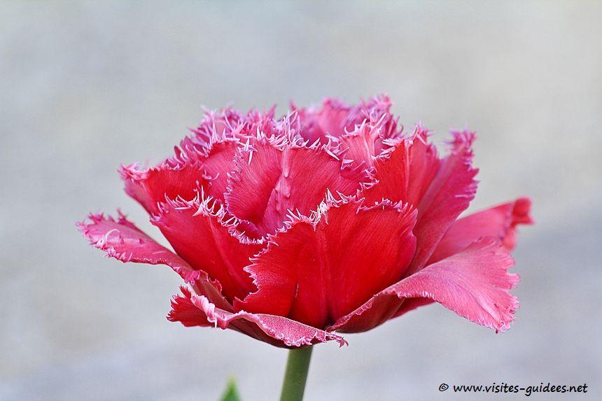 TulipeToronto dubbel Parc floral de Paris