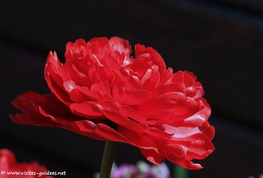Parc floral de Paris tulipe Margarita