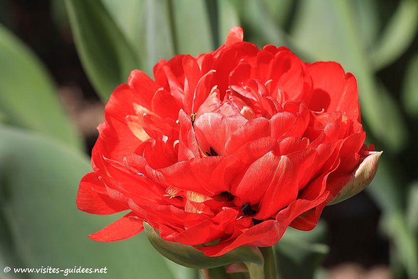 Parc floral de Paris tulipe Gudoshnik double