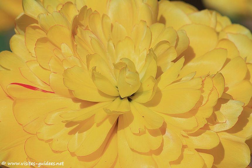 Parc floral de Paris tulipe Yellow Pomponnette