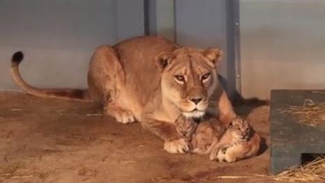 Aswad et ses lionceaux