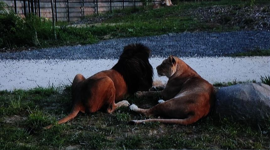 Naissance de trois lionceaux