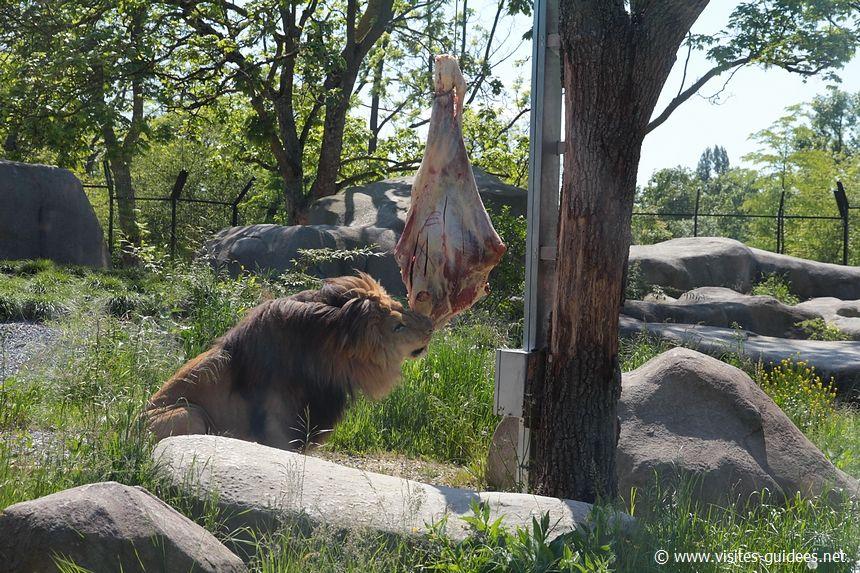 Nourrissage des lions Parc Zoologique de Paris