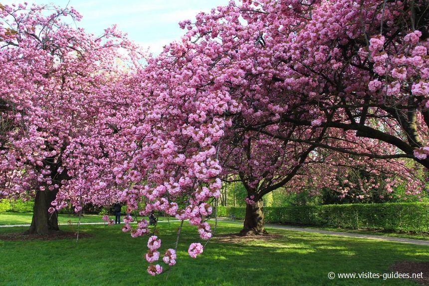 Cerisiers en fleurs Parc de Sceaux