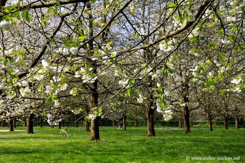 Parc de Sceaux cerisiers du Japon