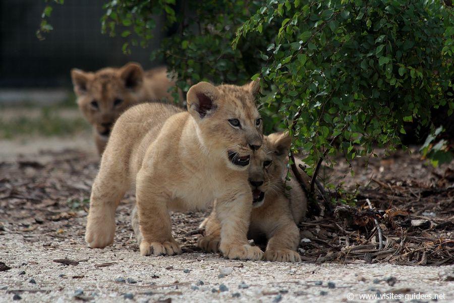 Les trois lionceaux Parc Zoologique de Paris
