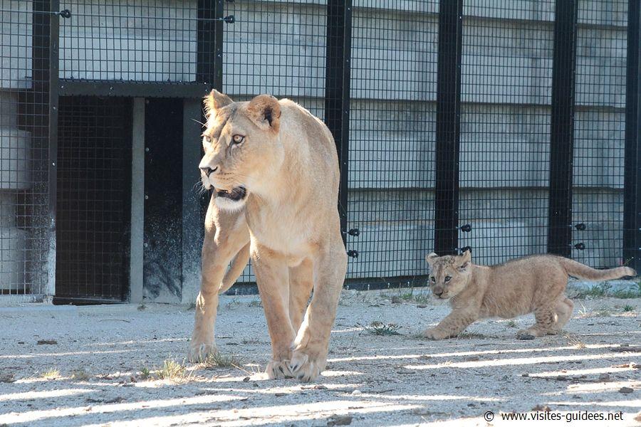 Aswad et ses lionceaux Parc Zoologique de Paris