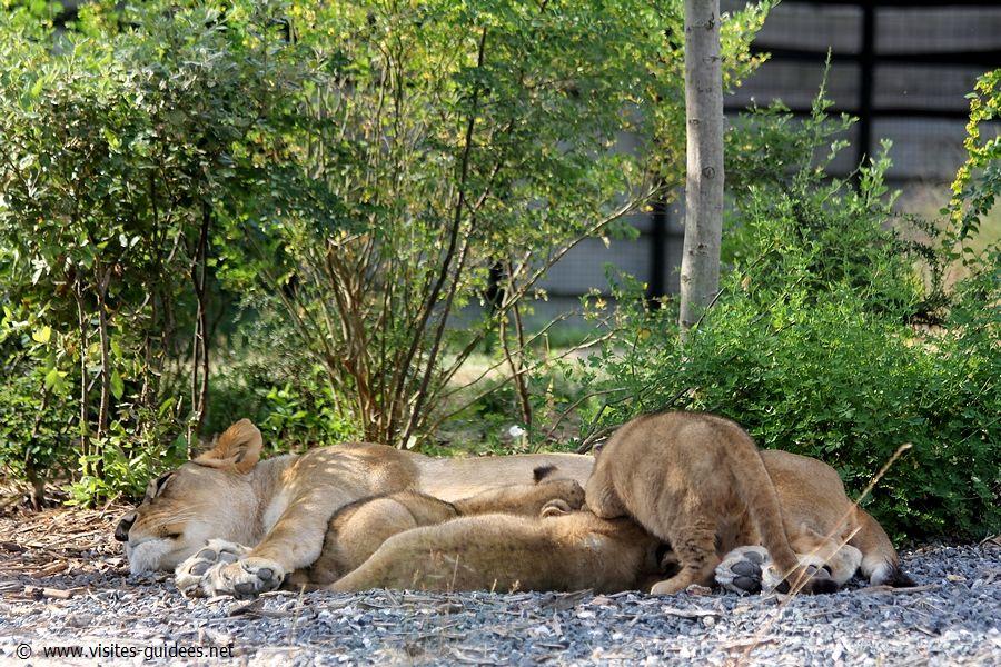 Aswad et ses trois petits lionceaux