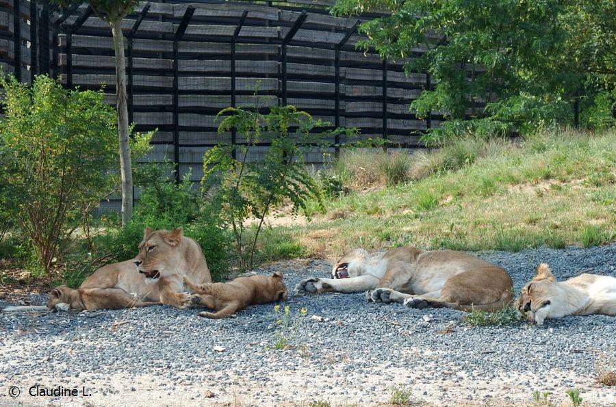 Lionceaux Parc Zoologique deParis