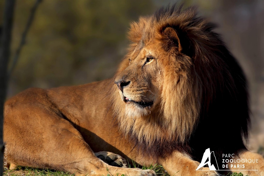 Le Lion Néro PZP