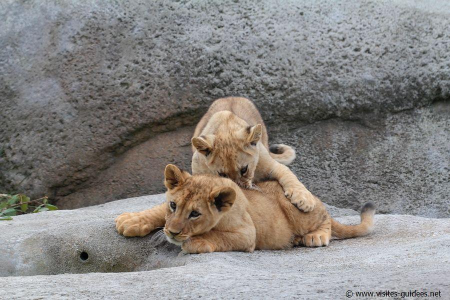 Shani et Atlas Lionceaux Parc Zoologique de Paris