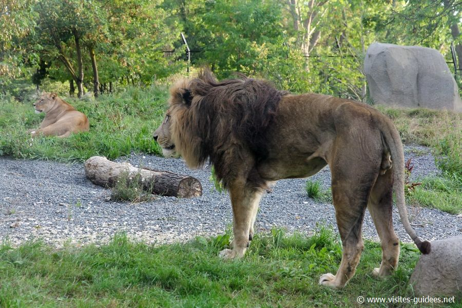 Le Lion Néro Parc Zoologique de Paris