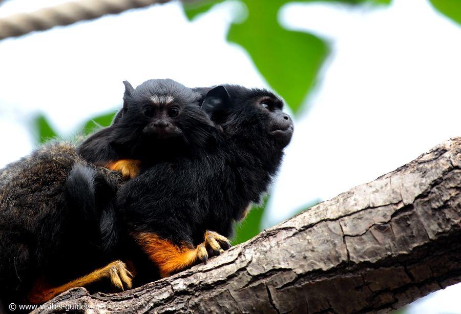 Tamarin à mains rousses Parc Zoologique de Paris