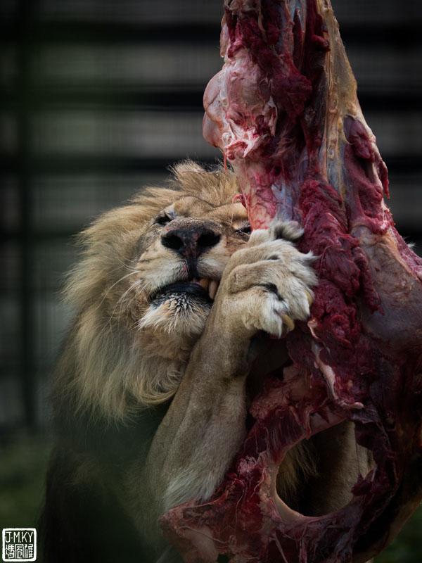 Néro Nourrissage des lions Parc Zoologique de Paris