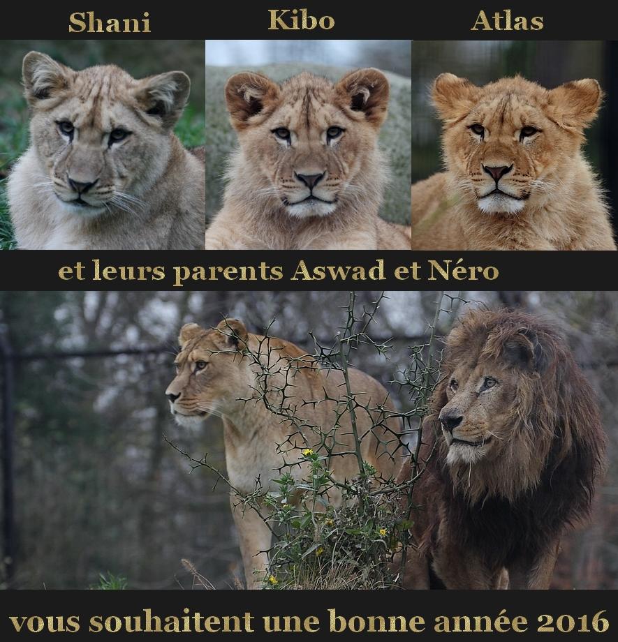Famille lion Parc Zoologique de Paris