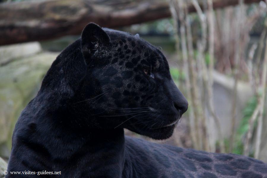 Aramis Jaguar noir Parc Zoologique de Paris