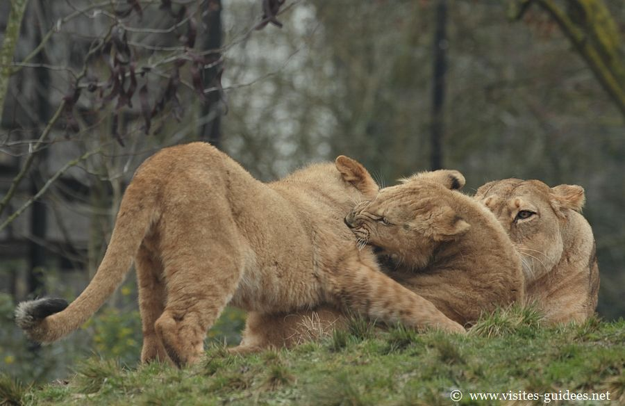 Lionceaux Parc Zoologique de Paris