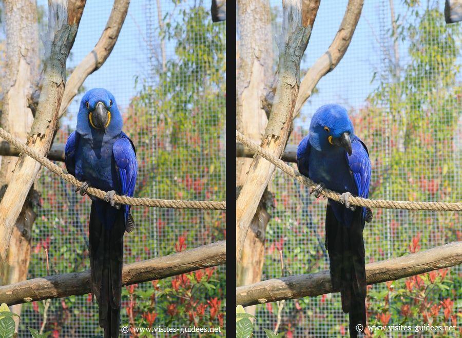 Indigo Ara Hyacinthe Parc Zoologique de Paris