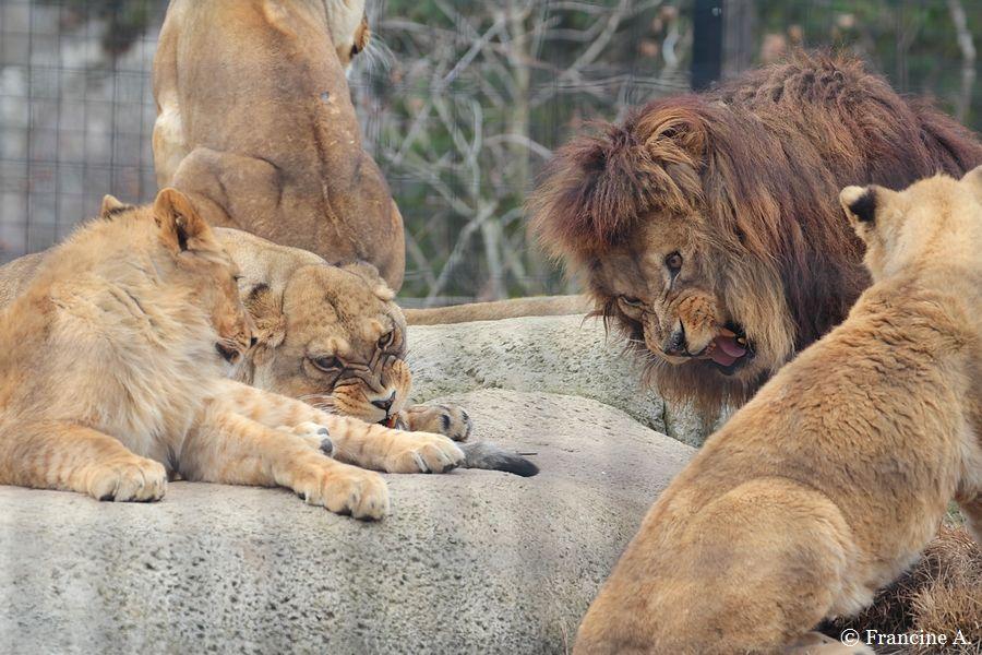 Néro Lion de l'Atlas Parc Zoologique de Paris