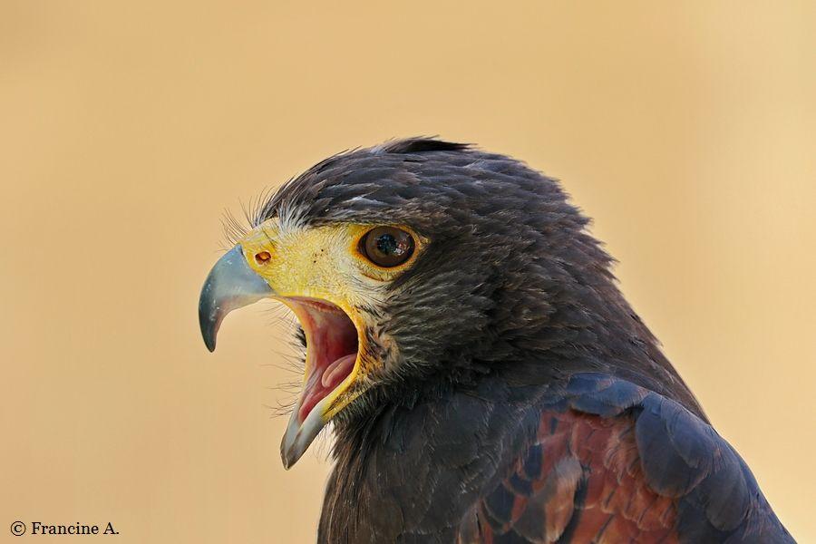 aigle de harris