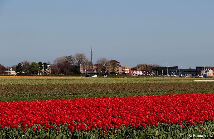 Champs de tulipes Hollande
