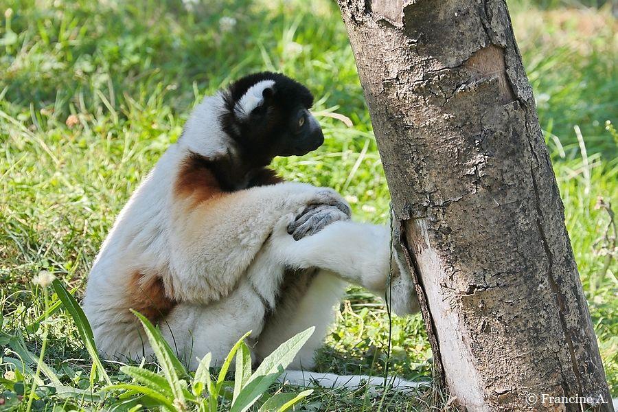 propithèque couronné Parc Zoologique de Paris