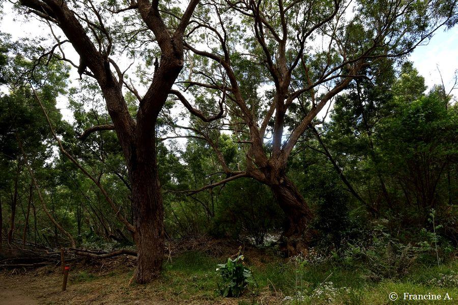 Forêt de tamarins du Piton Ravine Blanche La Réunion
