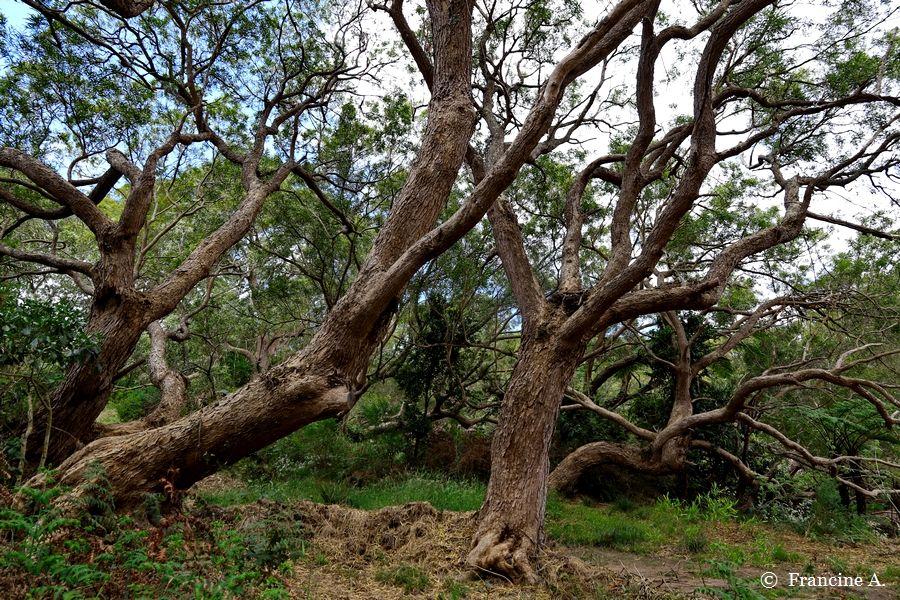 Forêt de tamarins Piton Ravine Blanche Réunion