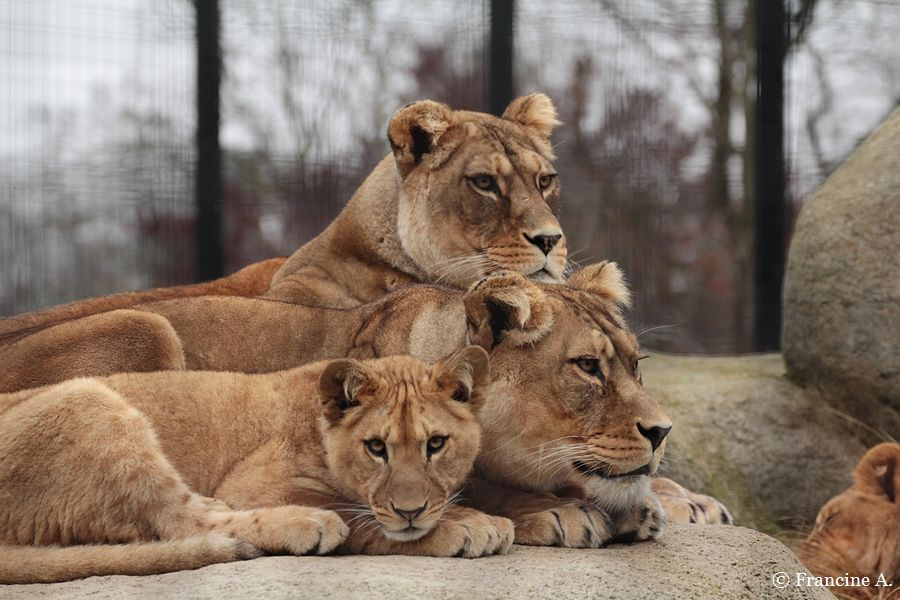 Parc Zoologique de Paris Le clan des lions Shani