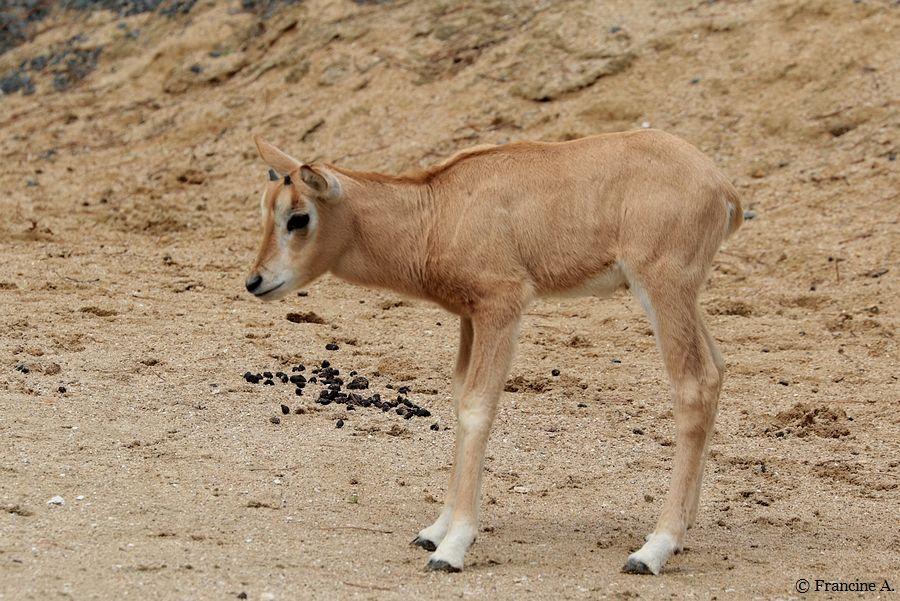 Parc Zoologique de Paris Oryx Algazelle