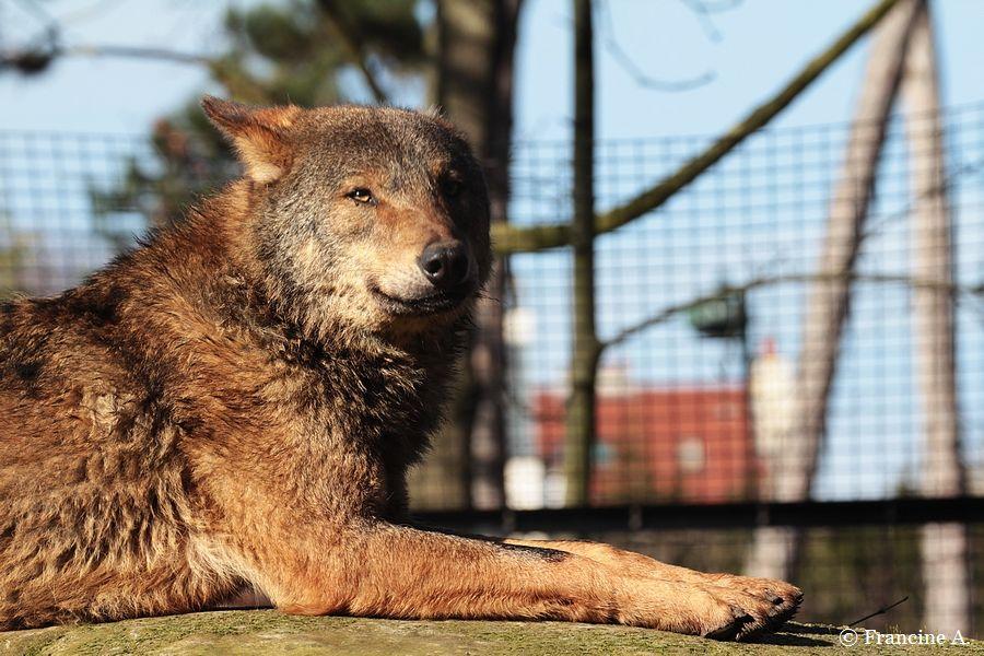 Parc Zoologique de Paris le loup ibérique