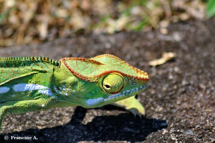 Endormi  Furcifer pardalis Réunion