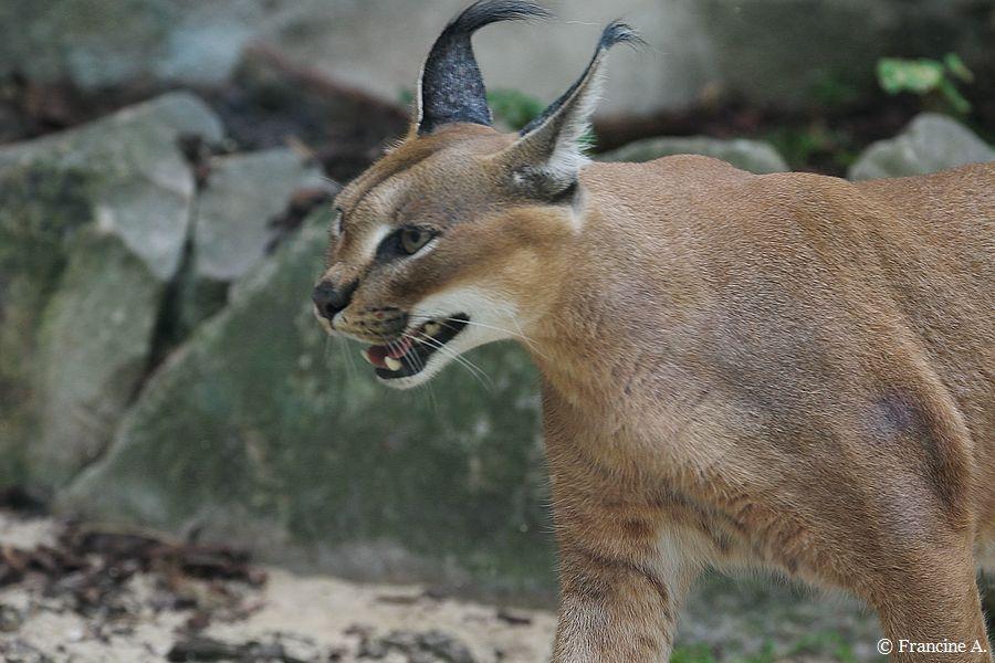 La Ménagerie le Zoo du Jardin des Plantes Caracal