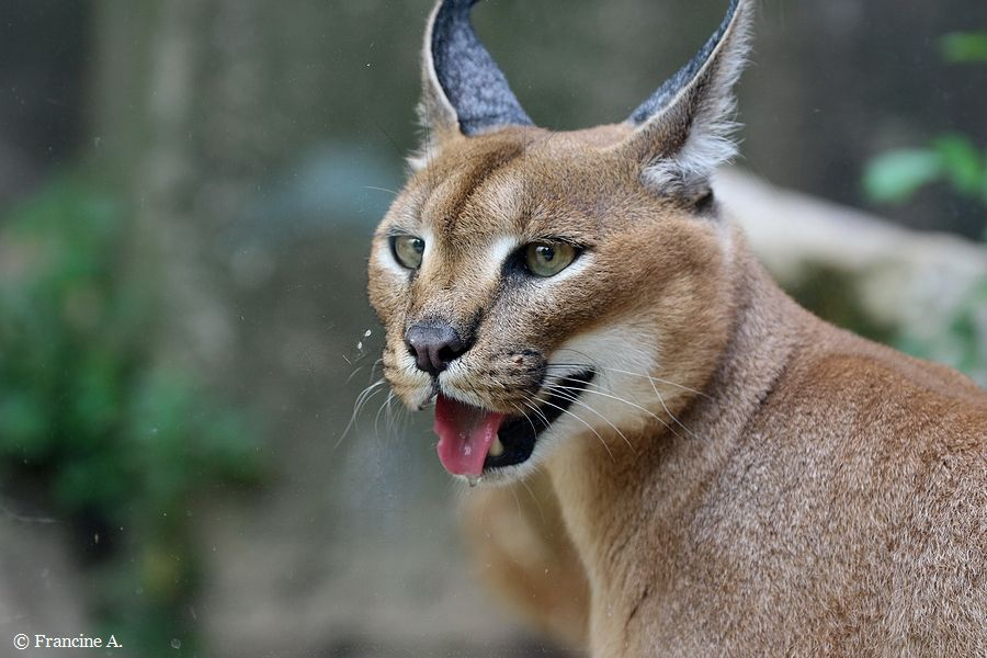 Caracal Paris